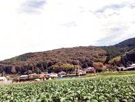そば畑、大豆畑