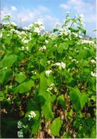 H29 そば畑・花、大豆畑の様子