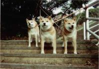 我が家の柴犬親子三代②
